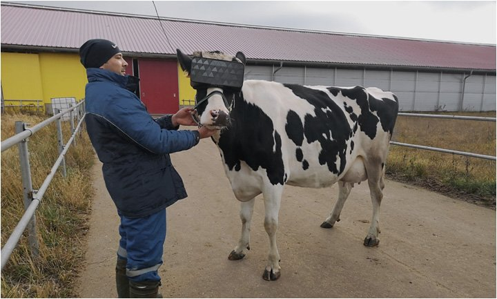 In Russia cows enjoy summer year-round with new virtual reality glasses